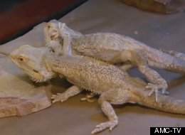 Cheng and Eng, a pair of conjoined bearded dragons, are having trouble getting along these days.