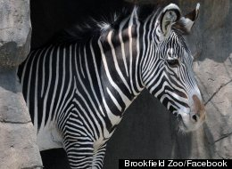The Brookfield Zoo is open, and offering free admission, on Saturday after closing for only the third time in its history last week.