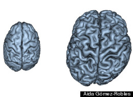 Structural comparison of chimpanzee (left) and human (right) brains. The human brain shows a much more marked asymmetric shape than the chimpanzee brain.