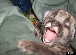 A Florida panther kitten reacts during an exam.