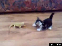 Watch what happens when this kitten takes on two lizards.