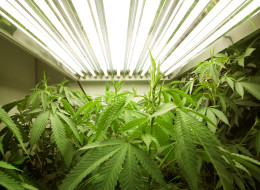 Medical marijuana is growing the penny stocks of several junior miners (CP)