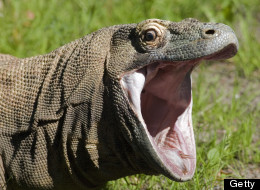 Komodo dragons are the largest lizards in the world. This detailed head shot shows a komodo dragon with mouth wide open.