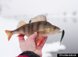 perch in fisherman's hand with...