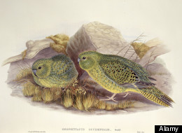 An illustration of the Night Parrot
