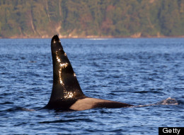 At 59, Ruffles is the oldest known male orca in the world, one of an estimated 150 orcas known to inhabit the Puget Sound and the coast of Washington state. Environmentalists fear for the safety of the whales as the U.S. Navy prepares to expand its operations in its Northwest Training Range Complex, which stretches from the coastline of Washington state to northern California.  (Photo by Courtesy of Howard Garrett/MCT/MCT via Getty Images)