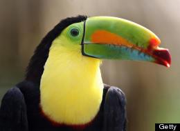 A 'razor beak' toucan. (YURI CORTEZ/AFP/Getty Images)