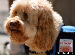 According to the New York Post, a growing number of dog owners in New York City are buying bogus service vests and certificates for their pooches so that they can bring their pets everywhere with them.