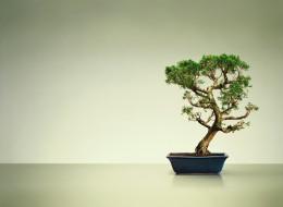 A bonsai tree.
