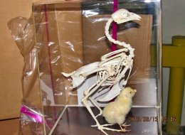 U.S. Customs and Border Protection agriculture specialists seized 30 chicken skeletons from China for being imported without appropriate U.S. Department of Agriculture health and import permits.