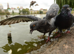 Pigeons chase pieces of bread floating in a pond in Moscow on Sept. 26, 2012. (Photo credit: KIRILL KUDRYAVTSEV/AFP/GettyImages)