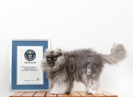 Colonel Meow, a 2-year-old Himalayan-Persian crossbreed, is the world's hairiest cat according to Guinness World Records.