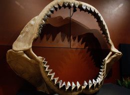 One of the world's largest set of shark jaws comprised of about 180 fossil teeth from the bus-sized prehistoric species Carcharocles megalodon on display at the Venetian Resort Hotel Casino in Las Vegas, Nevada. (Photo by Ethan Miller/Getty Images)