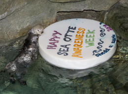 The Shedd Aquarium's sea otters enjoy a special cake for Sea Otter Awareness Week.