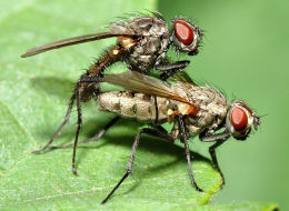 Insects belonging to the family Anthomyiidae. New research looked at the sexual behavior of three other insect types.