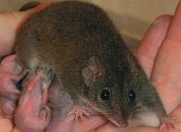 A female Antechinus. Males of the species die after breeding constantly for weeks.