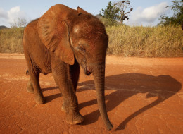 Tembo, a 5-month-old orphaned elephant, is taken for a walk by his keeper at Tony Fitzjohn's Mkomazi rhino sanctury on June 19, 2012, in Mkomazi, Tanzania. (Photo by Chris Jackson/Getty Images)
