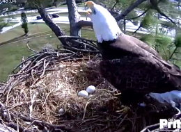 Harriet and Ozzie's eggs are expected to hatch around Christmas. Photo by Southwest Florida Eagle Cam Foundation
