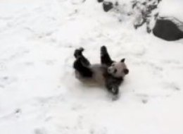 Da Mao, one of the two pandas currently housed at the Toronto Zoo, was caught on camera rolling around his exhibit after a fresh snowfall.