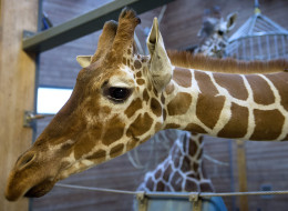 Picture taken on Febuary 7, 2014 shows a perfectly healthy young giraffe named Marius who was shot dead and autopsied in the presence of visitors to the gardens at Copenhagen zoo on Febuary 9, 2014.