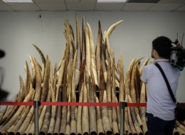 A cameraman films seized ivory tusks displayed prior to their destruction by incineration in Hong Kong on May 15, 2014.  Authorities incinerated the first batch of its almost 30 tonnes of ivory seized from smugglers. AFP PHOTO / Philippe Lopez
