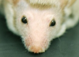 Mice that have a genetic mutation linked to autism groom their hair into mohawk-like hairstyles.