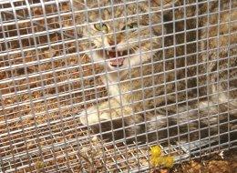 A feral cat is pictured in a trap in Western Australia.