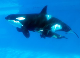SeaWorld's stock tanked today amid reports surrounding California legislation that could force the company to release killer whales to the wild.
