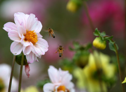 Bees fly around flowers in a field at Cypress Flower Farm on August 6, 2014 in Moss Beach, California. (Photo by Justin Sullivan/Getty Images)