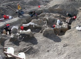 A US-Argentinian team led by Drexel University's Kenneth Lacovara, PhD, excavated the skeleton of Dreadnoughtus schrani from southern Patagonia over four field seasons from 2005 through 2009. The completeness and articulated nature of the two skeletons they found are evidence that these individuals were buried in sediments rapidly before their bodies fully decomposed.