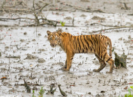 Working to Bring Back Tigers in Nepal