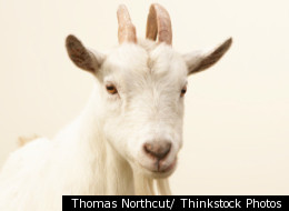 Jesus, a goat in Norway, was saved from meeting his maker despite chasing a mother and child up a tree and butting a police officer.