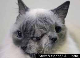 A cat with two faces, named Frank and Louie, sits on a mat in his home in Worcester, Mass. The animal is known as a Janus cat, named for the figure in Roman mythology with two faces on one head. The owner calls the face on the left Frank, while the face on the right she identifies as Louie.