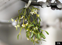 There are fears mistletoe could disappear from woodland within 20 years