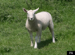 Police On Hunt For Sheep Killer (File Picture)