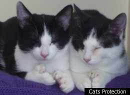 Polydactyl kittens Fred and Ted boast 54 digits between them