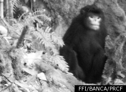 One of the first-ever pictures taken of a newly discovered primate, the Myanmar snub-nosed monkey.