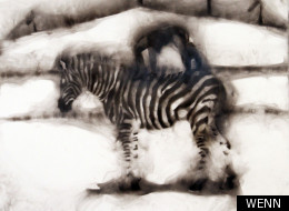 This picture of a zebra was made using a burning credit card