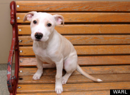 Ruby Tuesday is a happy, friendly four-month-old female puppy whose owner gave her up due to an eviction. Ruby Tuesday is available for adoption through the Washington Animal Rescue League.