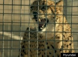 The cheetah in this Hyundai ad quickly realized which battle that he could win.