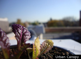 Mustard greens grown by The Urban Canopy, a new farm in development on the rooftop of The Plant in Chicago's Back of the Yards neighborhood.