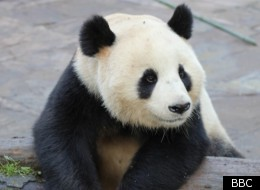 Wild About Pandas is on Friday at 9.00pm on BBC2