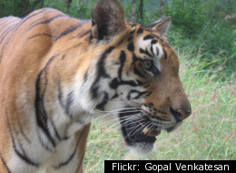 A new study by British researchers proves how the tigers get their stripes.