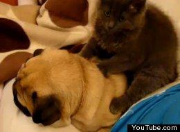 Cat massages a pug
