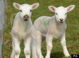The Schmallenberg Virus Affects Newborn Livestock