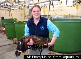 Maine State Aquarium Director Aimee Hayden-Rodriques holds a 27 pound, nearly 40 inch long, lobster caught by Robert Malone off the coast of Maine near Rockland, Maine on Feb. 17, 2012. The aquarium named the crustacean