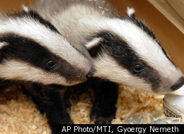 A British cemetery is being overrun by badgers that are digging up graves.