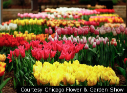 Tulips on display at a previous show. Over 90 varieties will be showcased this year.