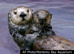 This undated image provided by the Monterey Bay Aquarium Foundation shows Toola, a sea otter who died at the aquarium, Saturday March 3, 2012, in Monterey, Calif. Believed to be 15 or 16, Toola succumbed to natural causes and to the infirmities of age, an aquarium spokesman said.