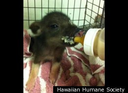 Pukalani, a piglet, was found roaming a hotel lobby in Hawaii.
